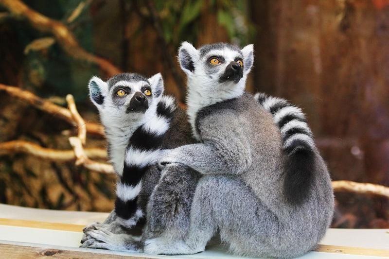 Lemury w Zoo we Wrocławiu