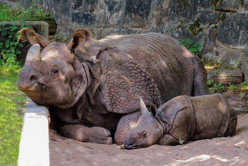 Nosorożce w Zoo we Wrocławiu