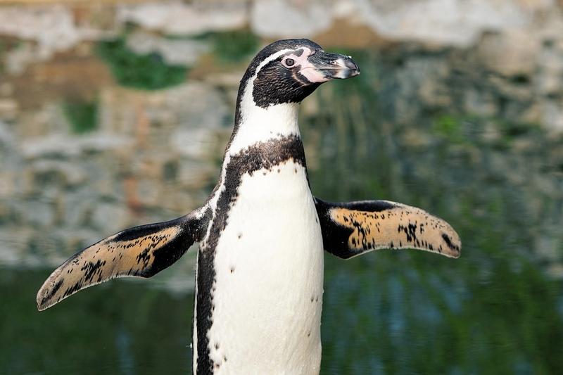 Pingwin w Zoo Wrocław
